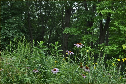 Prairie_Echinacea_Sunflowers_07-30-13